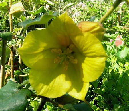 fremontodendron-9